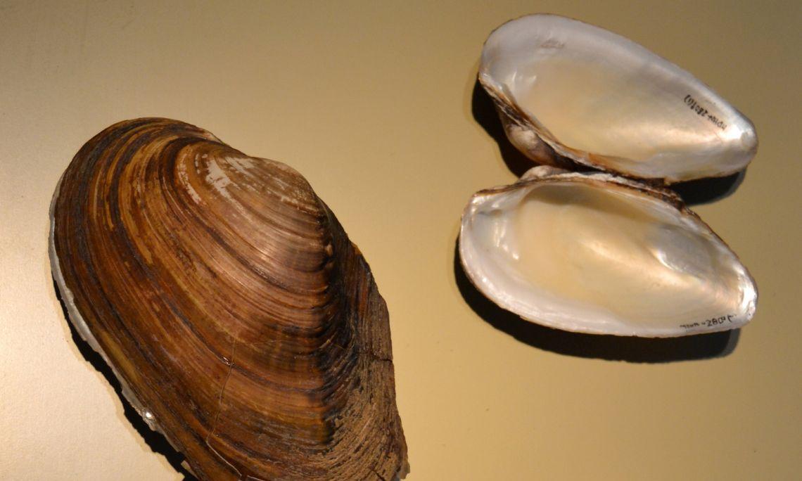 Exemplars d'espècies de nàiades presents a l'Estany de Banyoles.