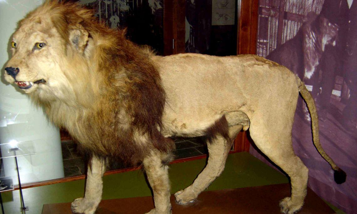 León macho adulto disecado (Colección Darder, 1916).