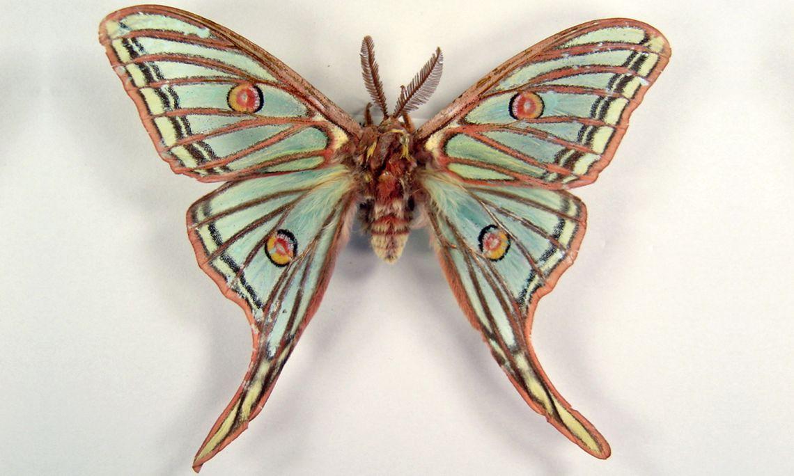 Mariposa isabelina o de Graells (Actias isabelae) macho. Recogida en Serinyà (Pla de l'Estany) el 2003.