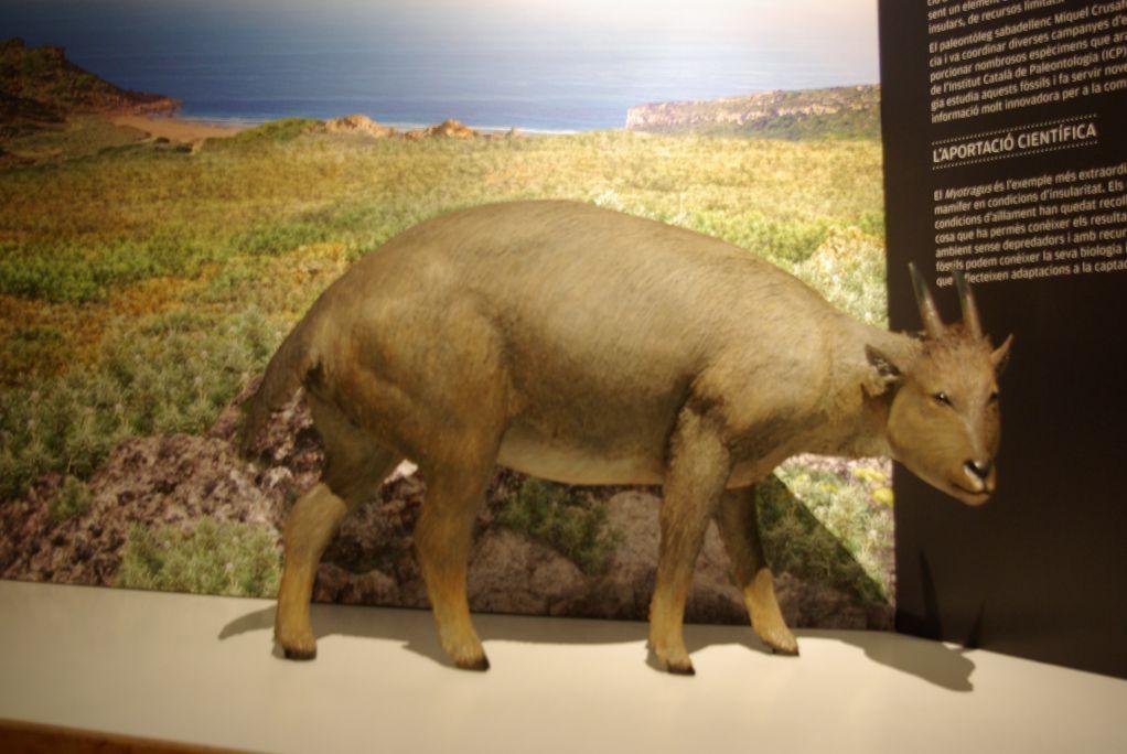 Reconstrucción deMyotragus balearicus