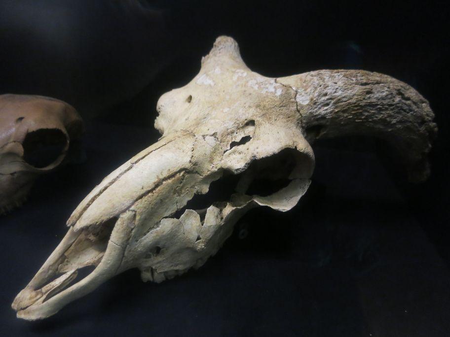 Crani de xai