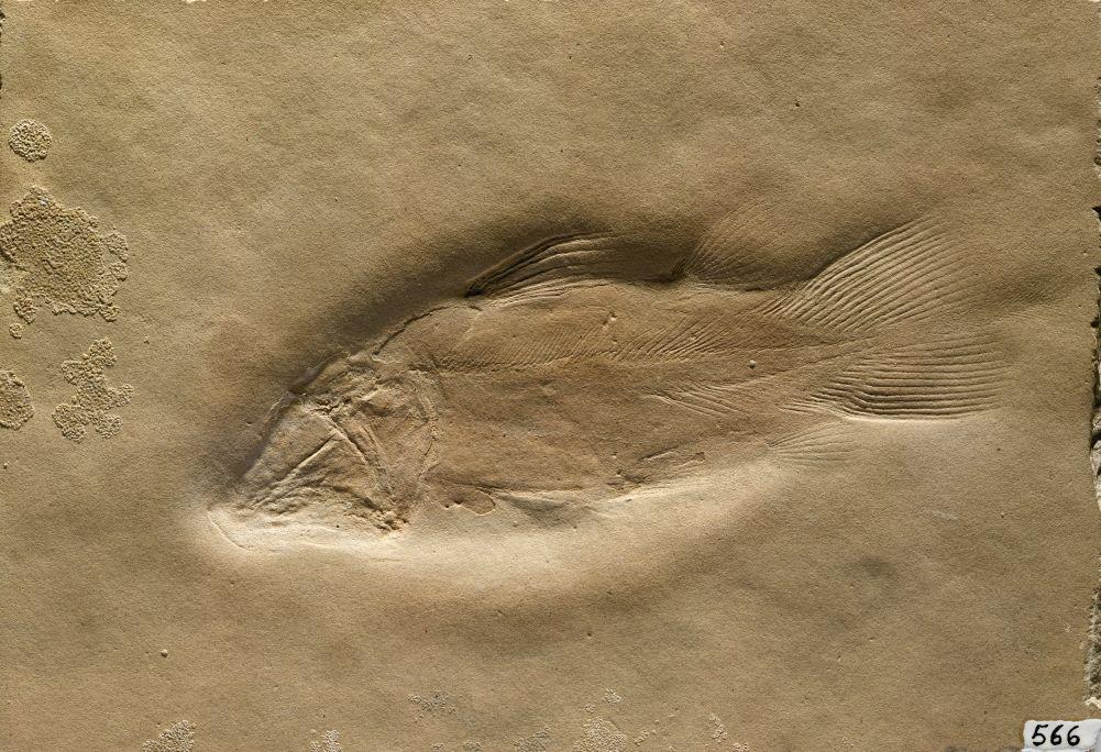 Alcoveria brevis, holotipo utilizado para designar una nueva especie descubierta en nuestro yacimiento.