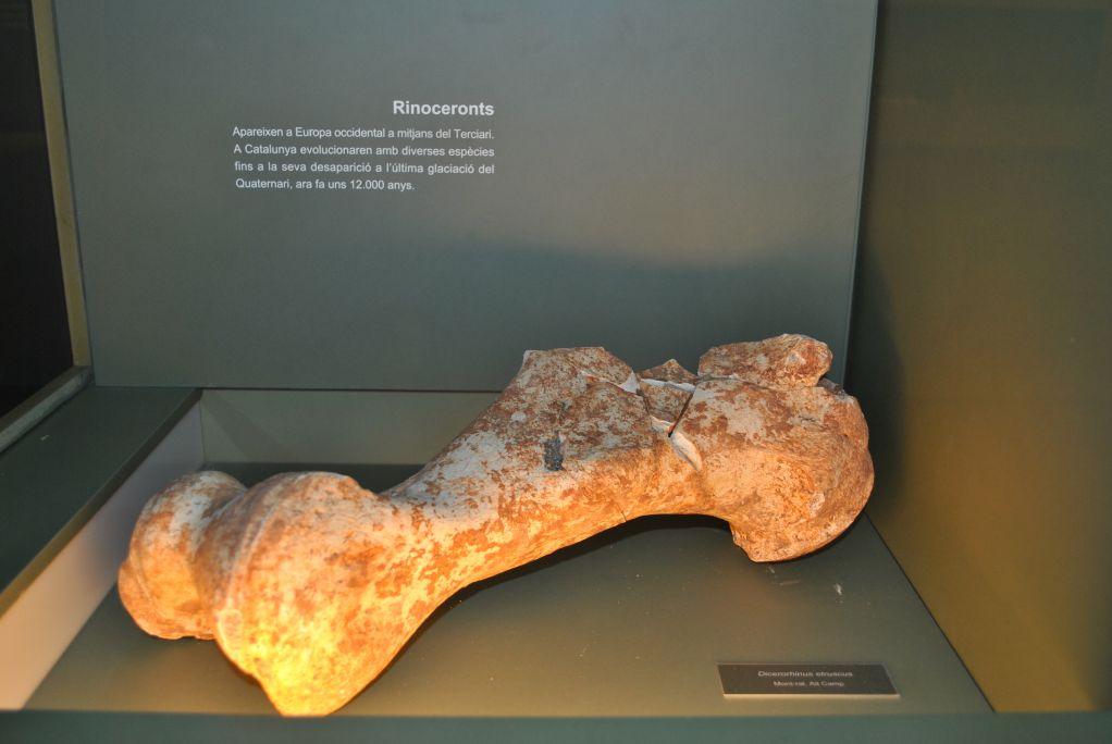 Humérus de rhinocéros, trouvé sur le site de La Bretxa, dans la carrière de Lucas, à Alcover-Mont-ral.