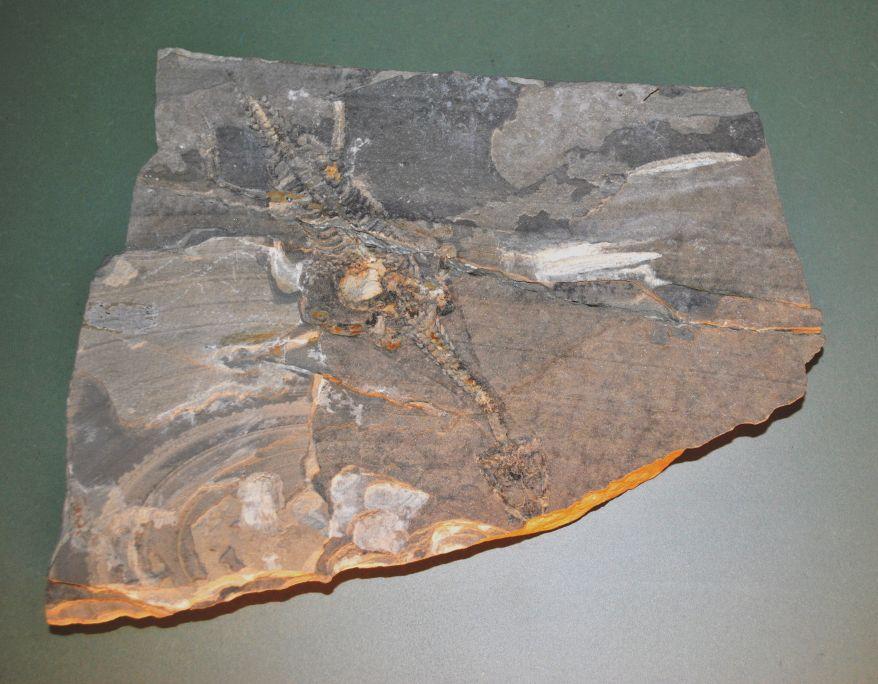 Los reptiles se originaron durante el Carbonífero; algunos se extinguieron y otros evolucionaron hasta nuestros días. Réplica. MGSB.