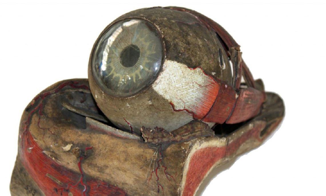 Preparació anatómica de l'ull