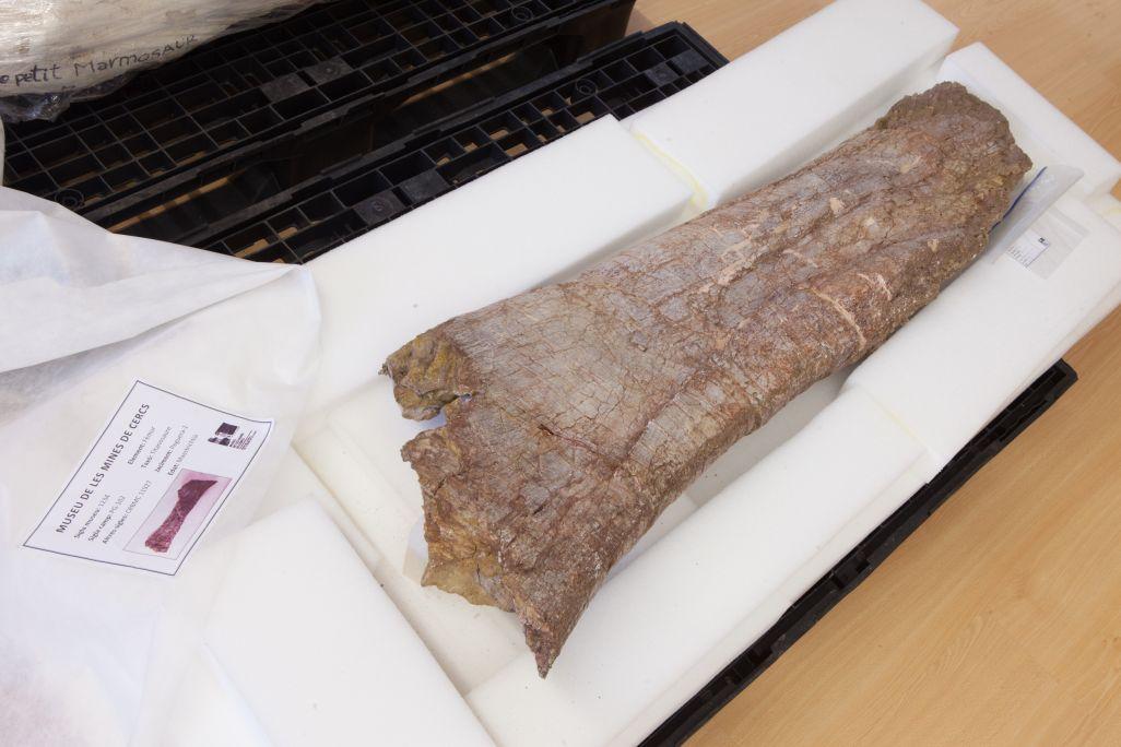 Fèmur de titanosaure