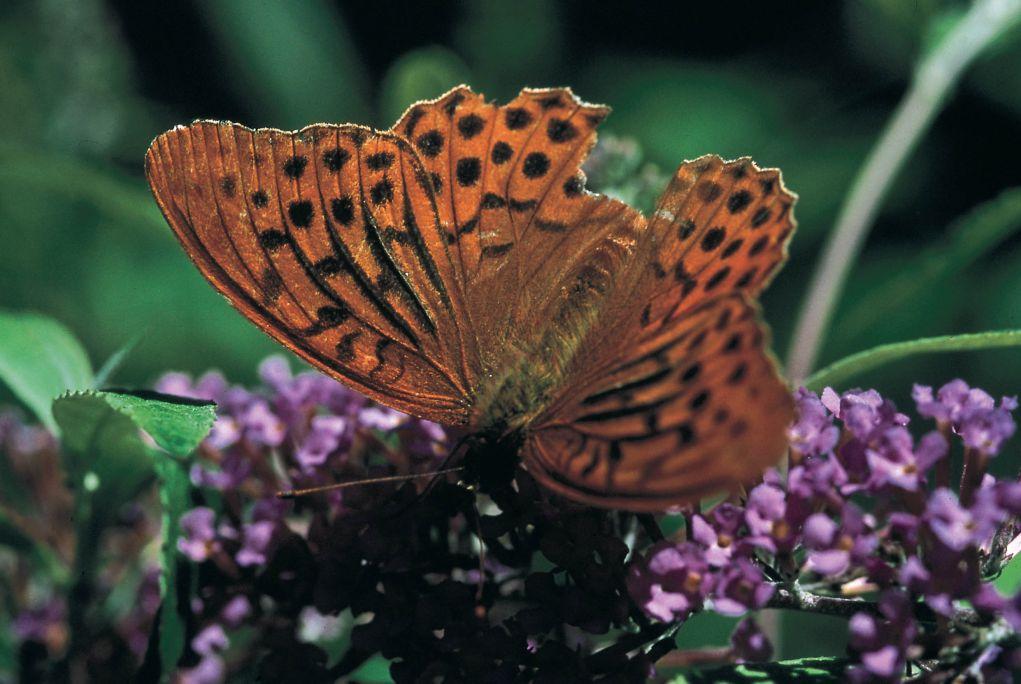 Mariposa macho de la especie Argynnis paphia (Nacarada común).