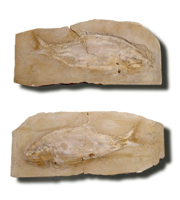 Ce spécimen fossile donne une image remarquablement complète de l'être vivant (moule et contre-moule).