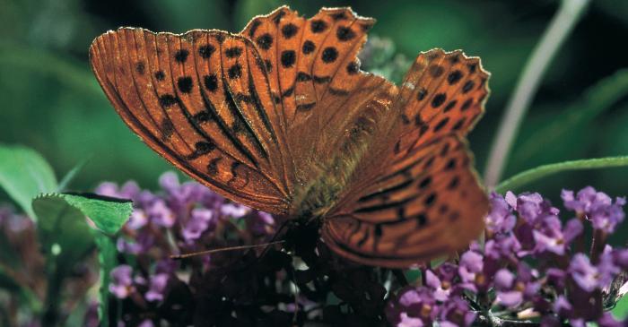 <p>Parpalh&ograve;la mascle dera esp&egrave;cia<em> Agynnis paphia </em>(Argentada comuna).</p>