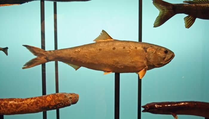 <p>La Saboga, un peix fluvial singular de l&rsquo;Ebre.</p>