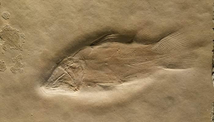 <p><em>Alcoveria brevis</em>, a holotype used to designate a new species discovered at our site.</p>