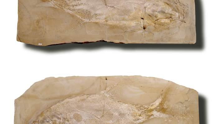 <p>Ce sp&eacute;cimen fossile donne une image remarquablement compl&egrave;te de l&rsquo;&ecirc;tre vivant (moule et contre-moule).</p>