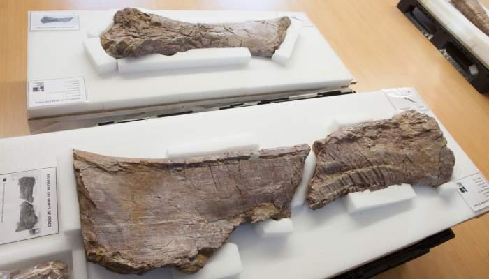 <p>F&egrave;mur de titanosaure</p>